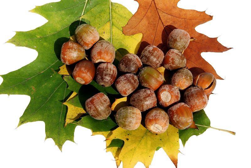red oak tree acorns