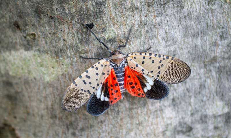 Adult-Spotted-Lanternfly