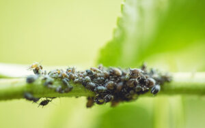 Aphid-Infestation-on-Elder