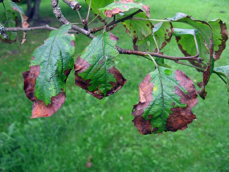 bacterial disease tree leaf scorch
