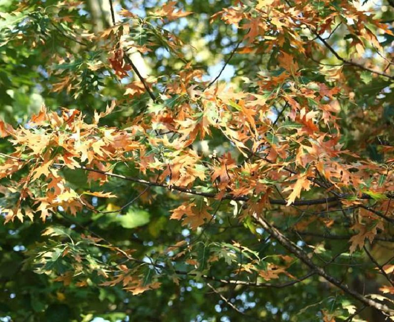 backeterial leaf scorch tree disease