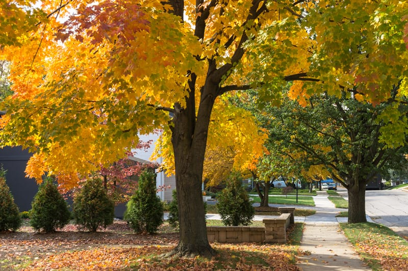 Beautiful Tree with Fall Colors in Front Yard of Home