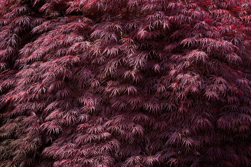 Burgundy Lace Japanese Maple Tree