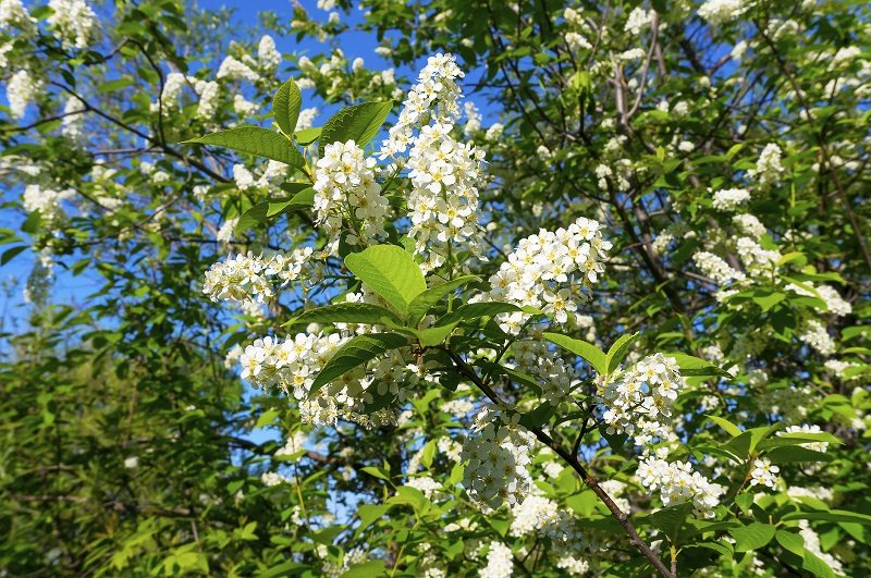 chokecherry tree shade new jersey shrub
