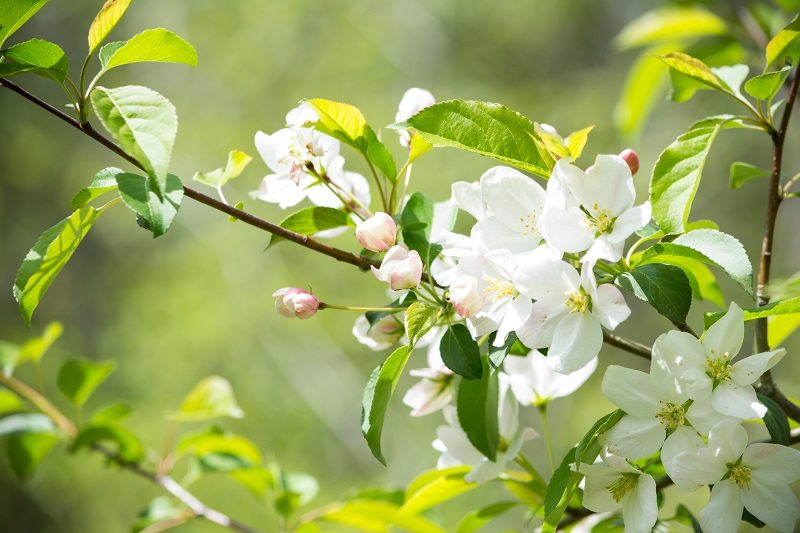 crabapple white tree