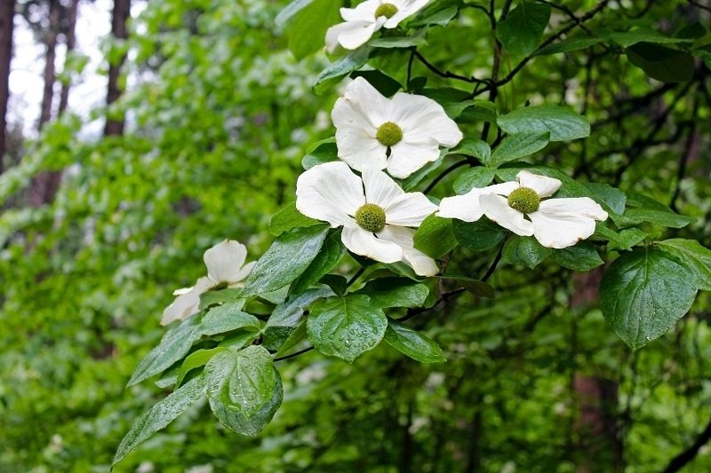 venus white dogwood tree