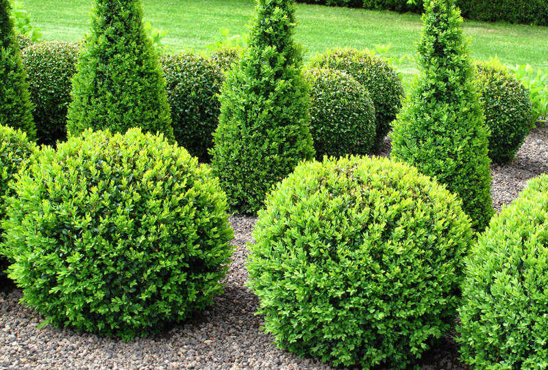 Green Gem Boxwood Shrubs