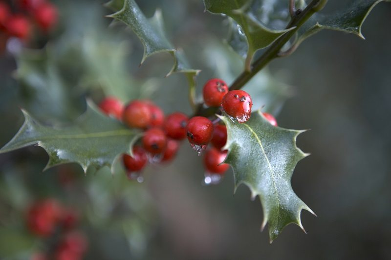 holly evergreen tree berries shade