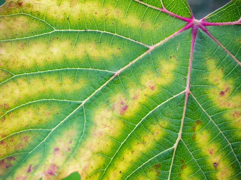 Leaf with Chlorosis