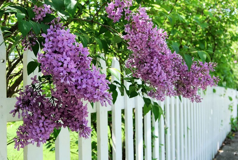 purple lilacs white pick fence