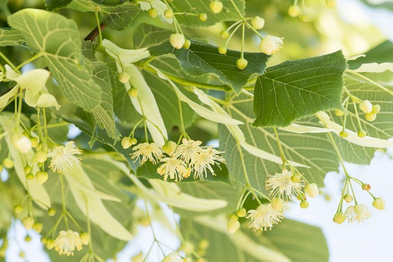 linden tree basswood deciduous shade fragrant flowers