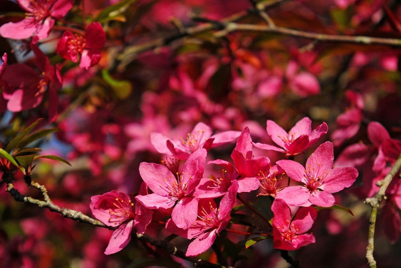red crabapple tree