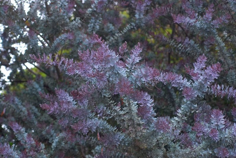 Purple Leaf Acacia tree