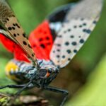 How to Identify and Get Rid of the Spotted Lanternfly