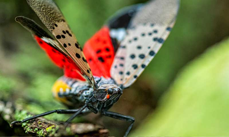 Spotted-Lanterfly