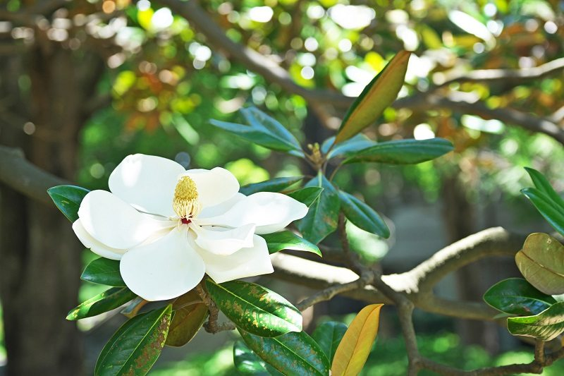 sweetbay magnolia tree nj shade fragrant