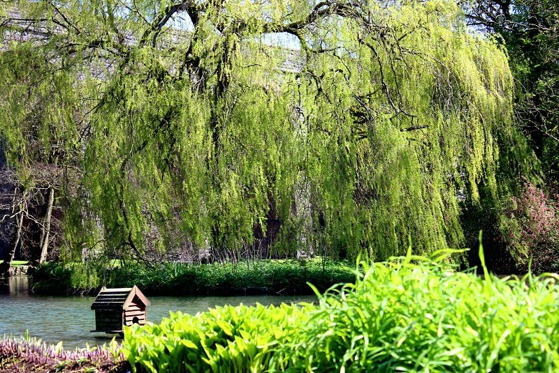 Willow tree deciduous shade
