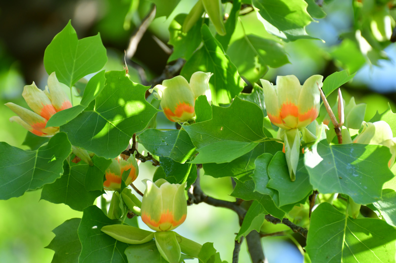 Adding Tulip Trees To Your Nj Landscape Trees Unlimited