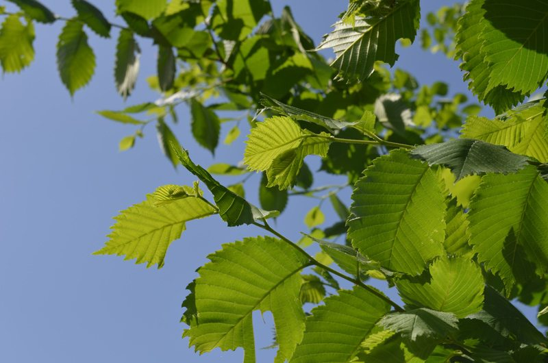 Alder Tree Branches and Leaves