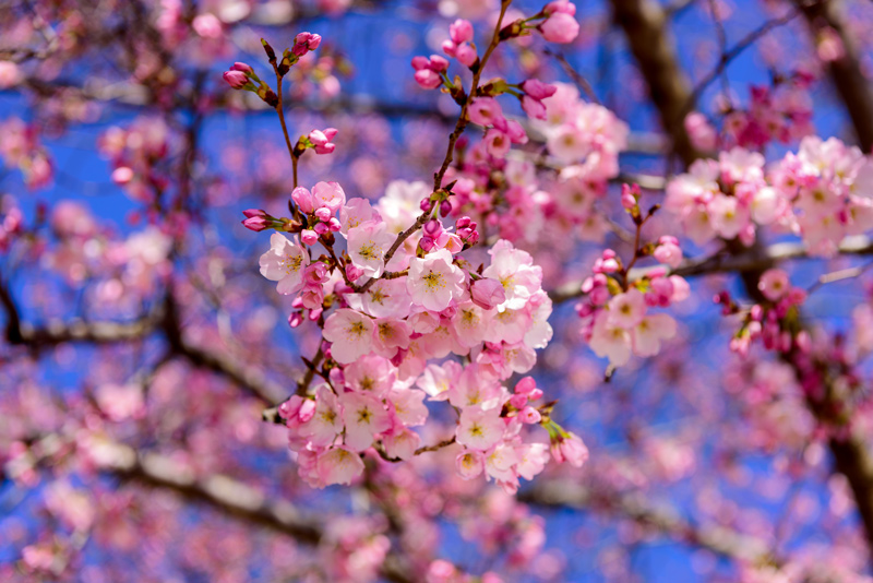 Growing Cherry Trees In New Jersey Trees Unlimited
