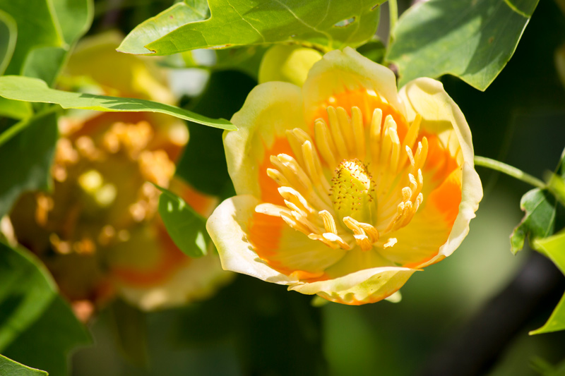 Tulip Tree Bloom Closeup