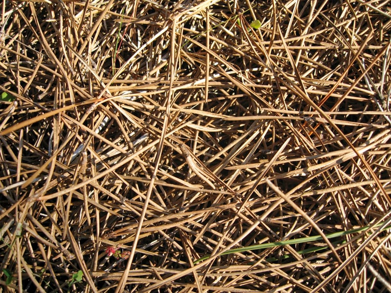 Debris under a tree from dropped needles