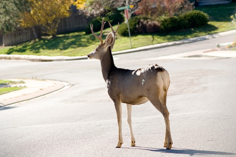Deer on the Street in Suburban Development