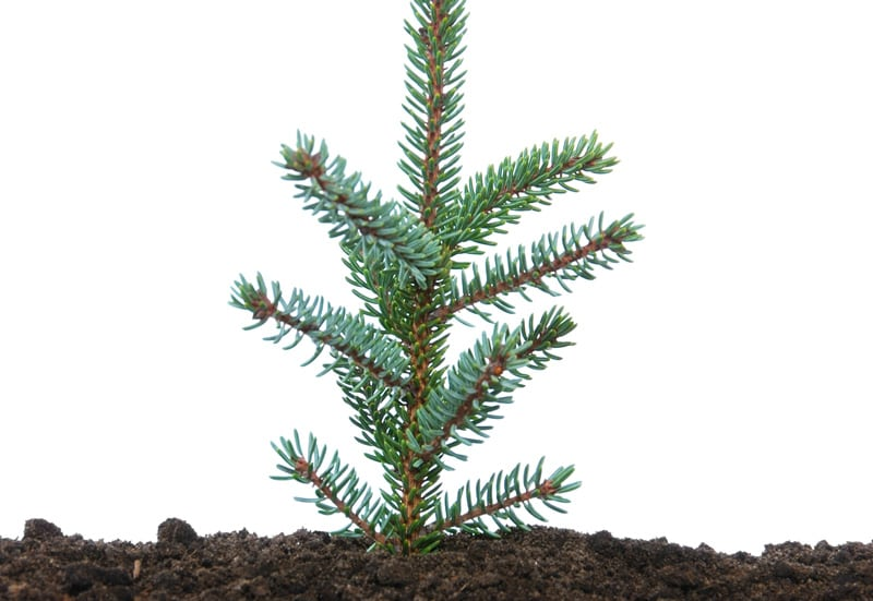 Small Single Evergreen Seedling