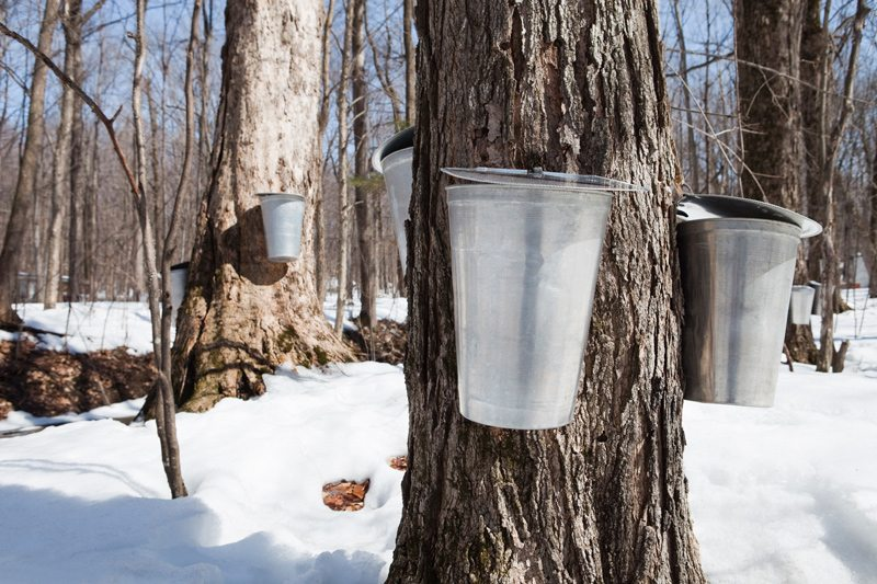 Harvesting sap for maple syrup