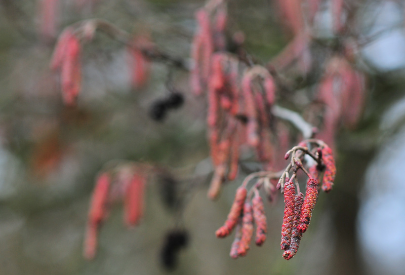 Hazel Alder Tree Closeup