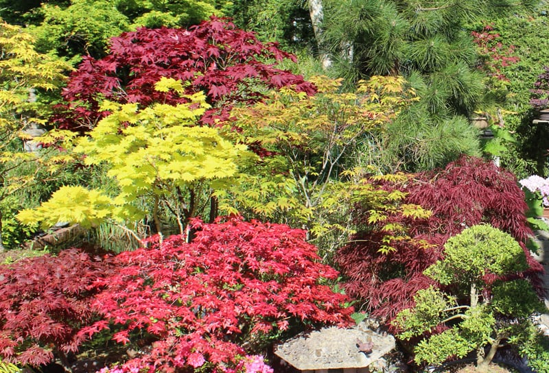 How To Care For Your Japanese Maple Tree The Star Of Your Yard