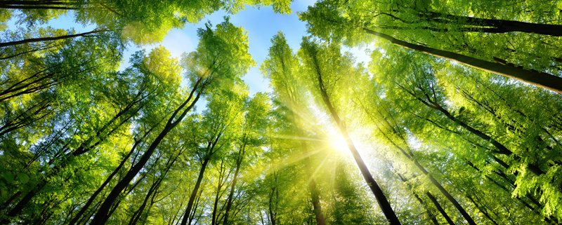 Large canopy of tall trees with sun shining through