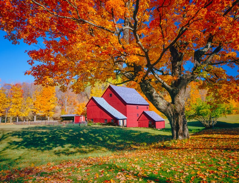 Huge Maple Tree in Front of a Barn in the Fall