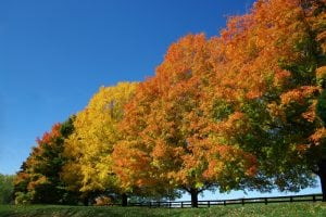 Maple Trees with Autumn Color