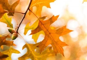 Oak Tree Branch Leaves and Acorns