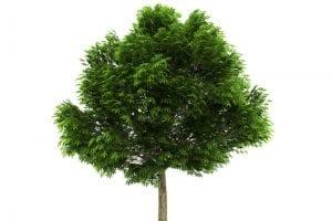 Open Head Buckeye Tree