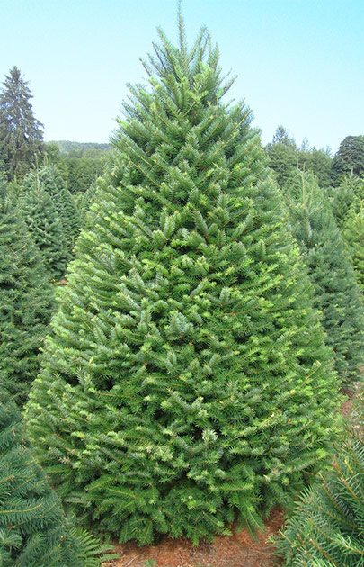 Douglas Fir Tree perfectly trimmed