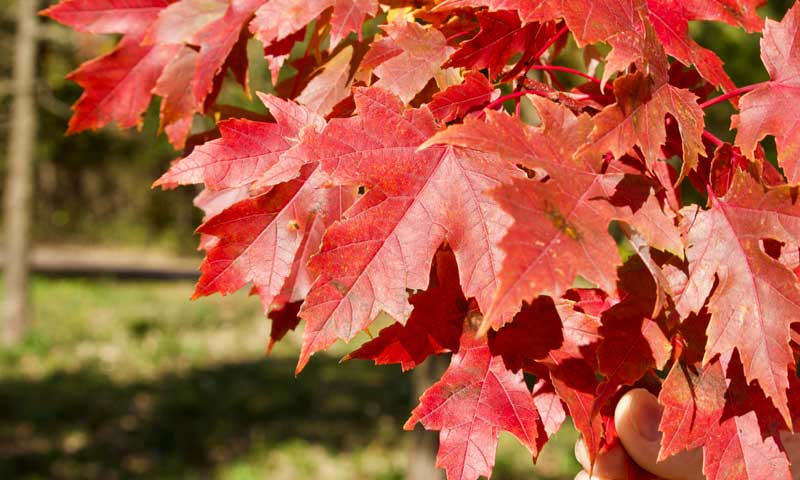 red-maple-tree