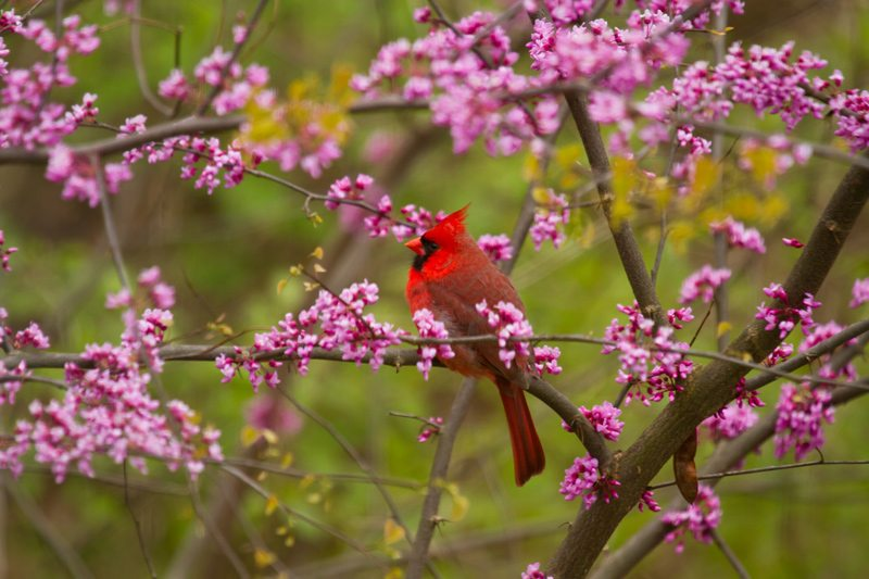 Cardinal on a tree branch with pink buds