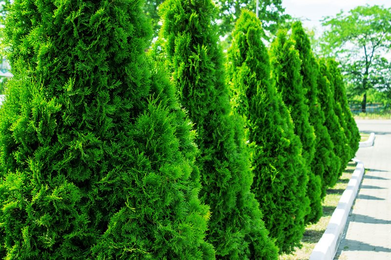 Top 5 Arborvitaes to Add to Your New Jersey Landscape
