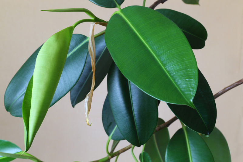 Xloseup of a Rubber Tree