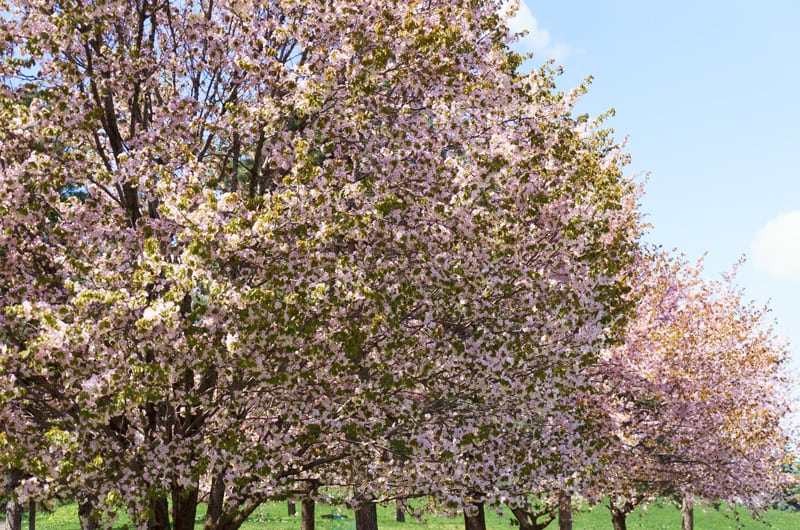 Row of Sargent Cherry Shade Trees