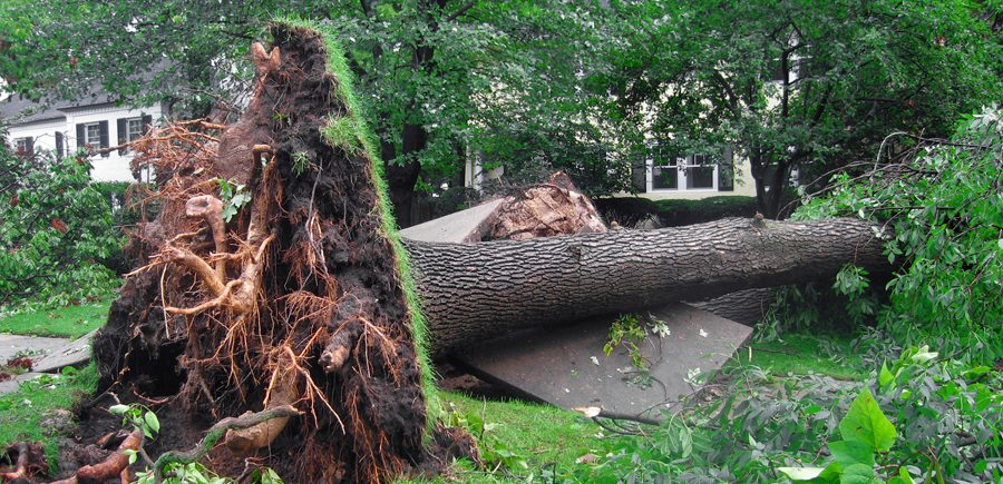 Storm Damaged Tree to be Removed