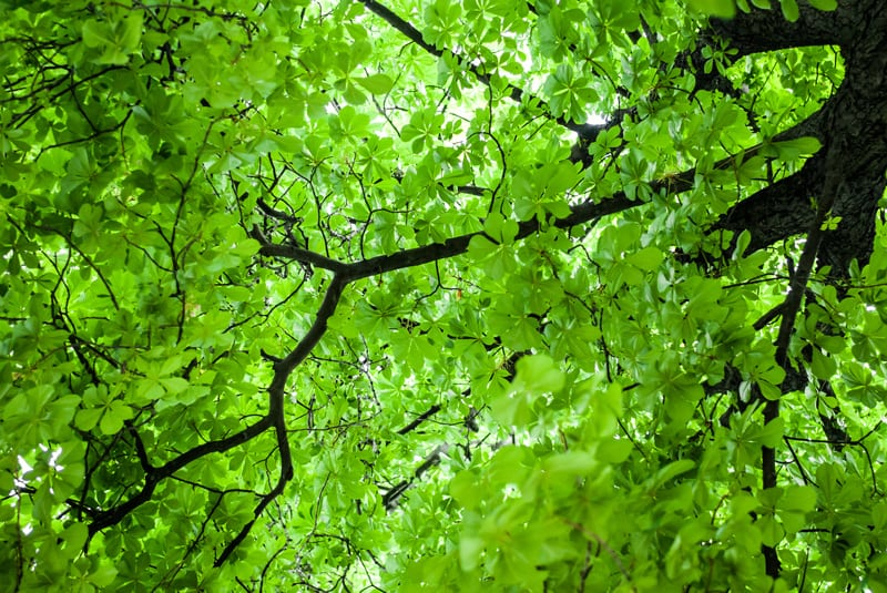 Tree Canopy of a Deciduous Tree