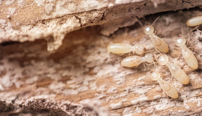 Warning Signs and Prevention of Tree Termite Infestation