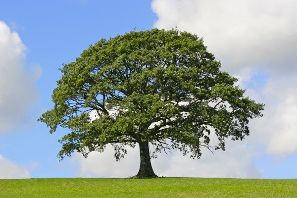 Cabling and Bracing Can Extend the Life of a Tree