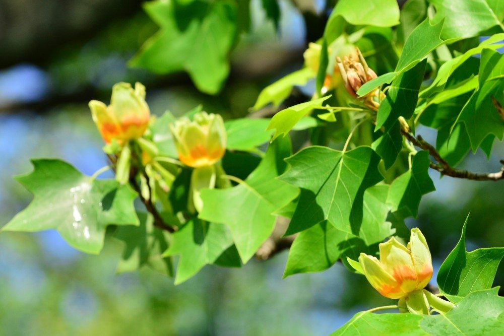 Tulip Tree Branches and Buds