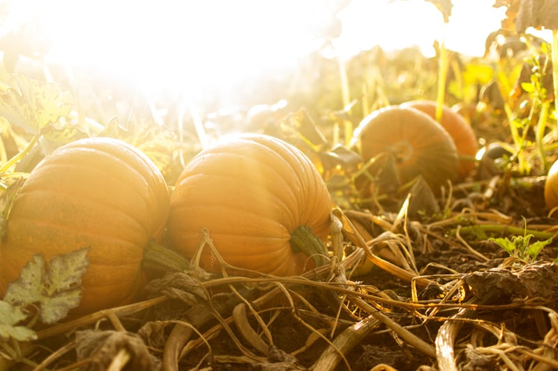Pumpkin Patch Being Warmed by the Sun